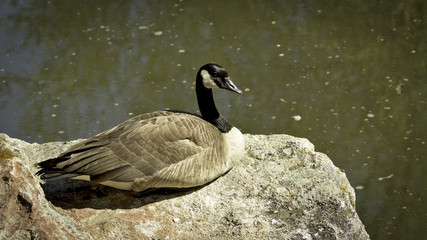 Pool of water with a rock and goose