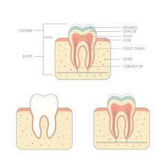 human tooth anatomy, medical teeth illustration