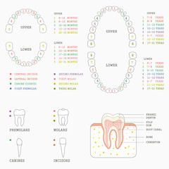 human tooth anatomy chart, diagram teeth illustration