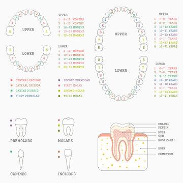 human tooth anatomy chart, diagram teeth illustration