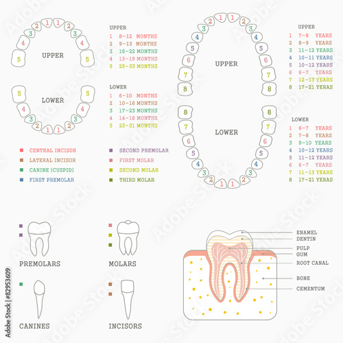 Human tooth anatomy chart diagram teeth illustration stock image human tooth anatomy chart diagram teeth illustration ccuart Gallery