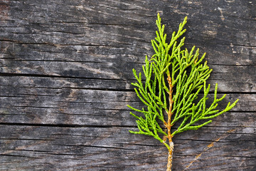 Green juniper branch on a grey wooden background
