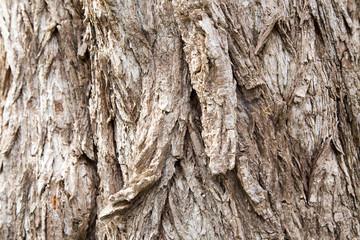 Old growth tree bark texture