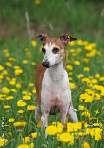 Portrait of nice italian greyhound on green spring lawn