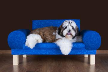 shih tzu puppy lying on the sofa