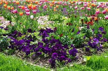 Frühlingsblumenmix Stiefmütterchen mit Tulpen