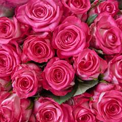 fresh rose flowers closeup, natural background