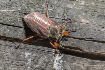 May bug on a wooden background from the top