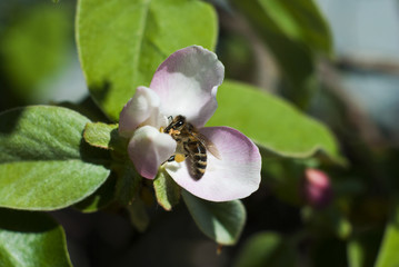 A bee collects nectar in the flower of quince.