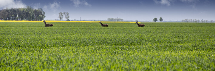 Farmland with running roe deers