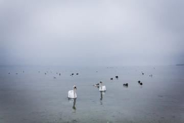 Les cygnes du Lac de Neuchâtel en hivers