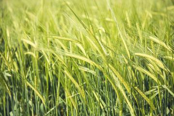 Green wheat field background