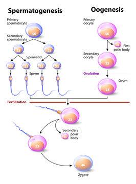 Spermatogenesis and Oogenesis