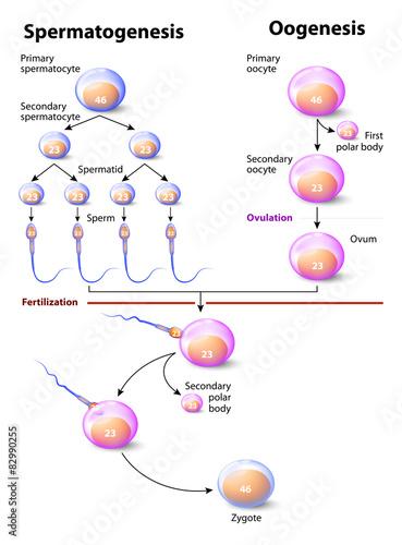 Gambar diagram oogenesis wiring library spermatogenesis and oogenesis stock image and royalty free vector rh fotolia com oogenesis process oogenesis meiosis ccuart Image collections