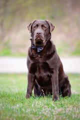brown labrador retriever dog in a bow tie