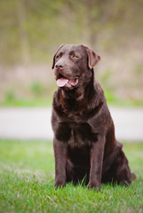 brown labrador retriever dog sitting