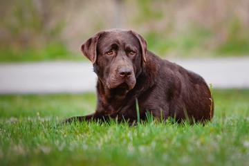 brown labrador retriever dog lying down