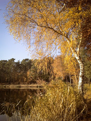 Birke an einem Teich