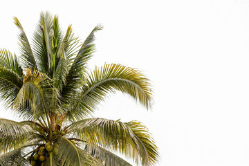 Coconut trees background.