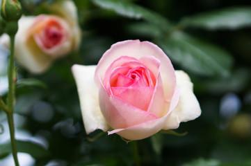 淡いピンクの薔薇の花