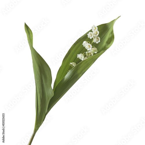 """brin de muguet sauvage avec ses feuilles sur fond blanc"""" photo"""