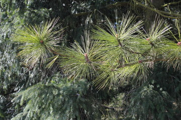 Gelbkiefer (Pinus ponderosa)