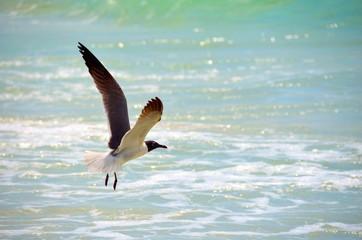 Seagull in flight at a Panama City, Florida beach