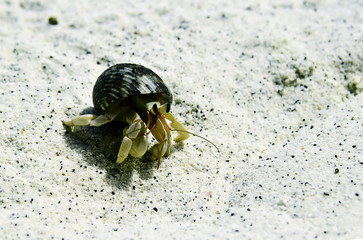 Hermit crab walking on the beach