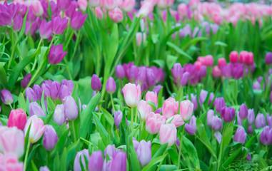 Beautiful colorful Tulip flower