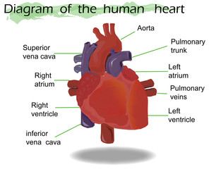 Vector  Human Heart Anatomy