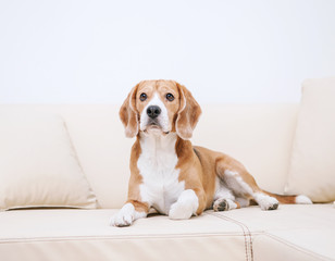 Purebred beagle lying on sofa