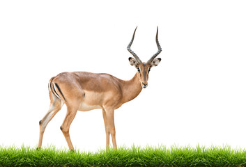 Wall Mural - male impala isolated