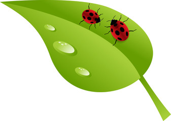 Two ladybugs crawling on green leaf covered with dewdrops