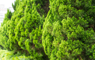 a well landscaped hedge of bushes boxwood, background