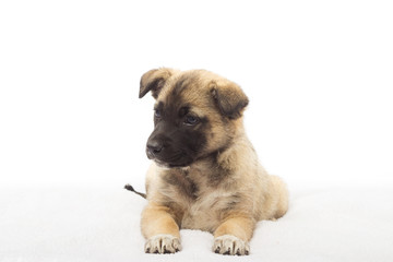 Beige puppy looking