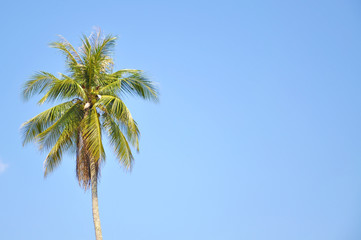 Coconut Tree Under Blue Sky  With Copy Space Area
