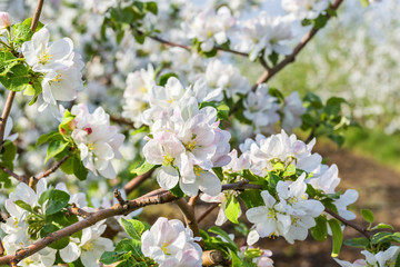 Flowering branch of apple-tree in the spring garden