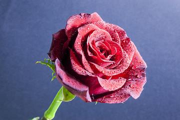 Un fiore bellissimo, la rosa rossa