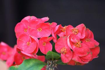 Fototapeta Crown of thorns flowers : Euphorbia milli Desmoul in japanese ga obraz