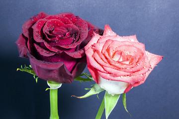 Rose con rugiada