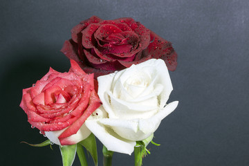 Rosa bianca rossa e rosa