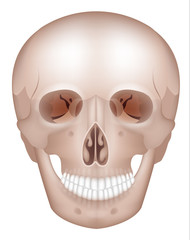 Human skull detailed anatomy frontal view, isolated on white