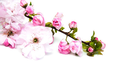 Sakura blossom on a white background