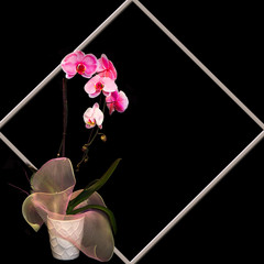 Black background with Fuchsia Orchids