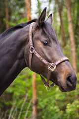 dark sorrel stallion