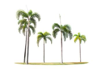 betel palm trees