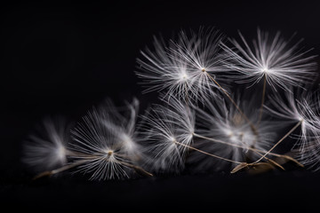 Dandelion seeds. Many dandelion seeds, close-up flower seeds.