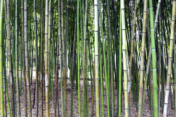 Bamboo forest in a public Park