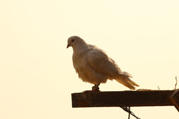 white Pigeon on the stick