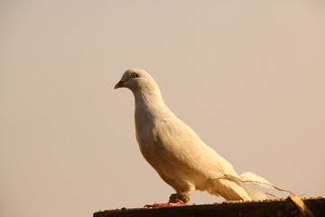 white Pigeon on the wall